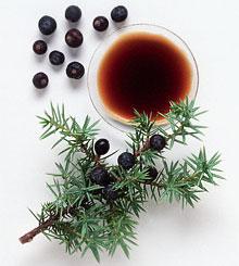 Можжевельник – уникальный природный источник фитонцидов
